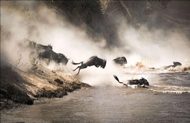 Mammifère herbivore qui, normalement, broute toute la journée. De la famille des bovidae, genre Connochaetes, ils vivent en troupeaux rassemblant des milliers d'individus. À la fin de la saison des pluies, on assiste à une migration vers des contrées plus humides au Kenya.Quels sont ces animaux qu'on voit sur la photo traversant la rivière Mara ?