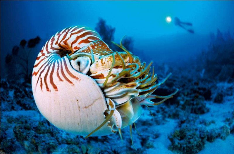 Il s'agit d'un animal (Eumétazoaire), un organisme vivant, couramment appelé corail mou : comme leur congénère, ils forment d'importantes colonies : chaque polype fabrique son exosquelette, dans le cas présent, il est mou et cet invertébré pourra prendre différentes couleurs.Quel est cet anthozoaire qui affectionne les mers chaudes mais n'a pas besoin de lumière pour sa croissance ?