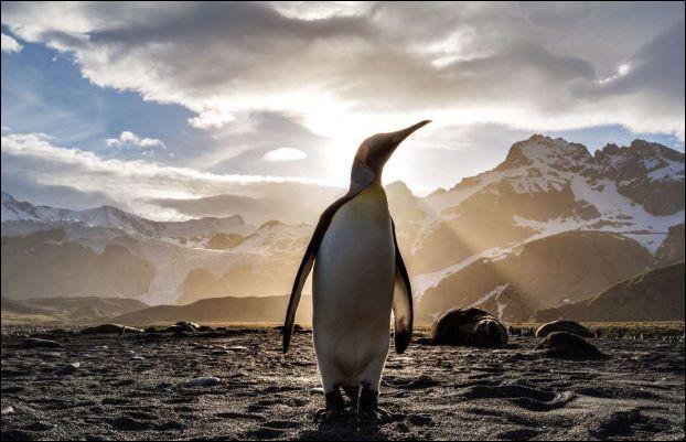 Cet oiseau marin provient des froides régions de l'hémisphère sud. Il appartient à la famille des Sphéniscidés. Il a fière allure mais avec la forme de ses ailes, il ne vole pas.Toutefois sa forme élancée en fait un bon nageur. Celui-ci est royal et sa photo est saisissante.Nommez cet Aptenodyte sédentaire quit vit en colonies de plusieurs milliers d'individus.