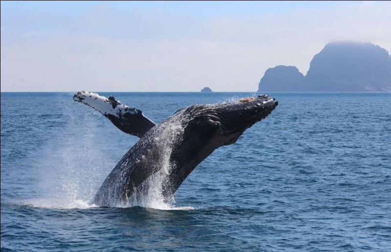Les filets et engins de pêche, les déversements toxiques et les navires représentent de graves dangers pour ce cétacé : l'activité humaine leur étant néfaste, on leur a réservé des zones dans le fleuve St-Laurent.Si vous allez observer des baleines, prenez soin de respecter les distances de sécurité. Quel est ce géant des mers capable de parcourir jusqu'à 25 000 km en un an ?