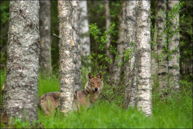 Voyez-le aux aguets, il a assurément une proie en vue. Ces canidés qu'on retrouve dans les bois, sont capables d'étonnants déplacements : on a estimé qu'ils pouvaient courir 60 km en une heure. Cette photo a été prise en Finlande.Quel est le nom de ce mammifère carnivore qu'il vaut mieux voir de loin ?