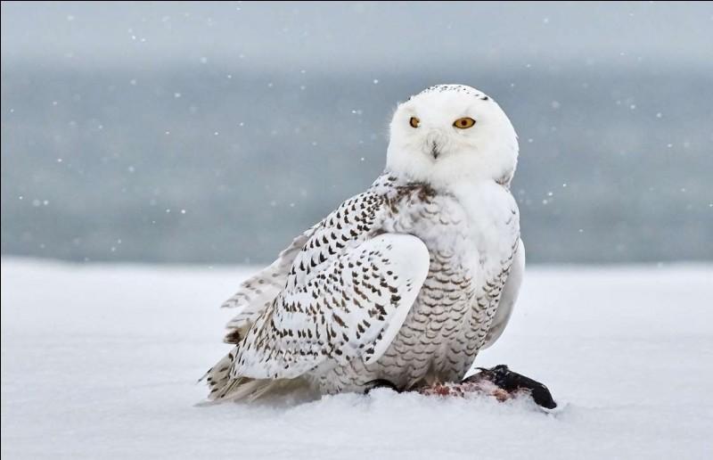 Bel oiseau qui mesure presque 50 cm et dont les ailes déployées ont une envergure de près de 1,5 m. La couleur claire facilite son camouflage sur la neige, mais cet avantage disparaît en été. C'est un oiseau plutôt timide et silencieux : sauf pendant la nidification, il passe son temps haut perché à observer.Quel est ce fier oiseau aussi appelé chouette harfang, l'oiseau emblématique du Québec ?