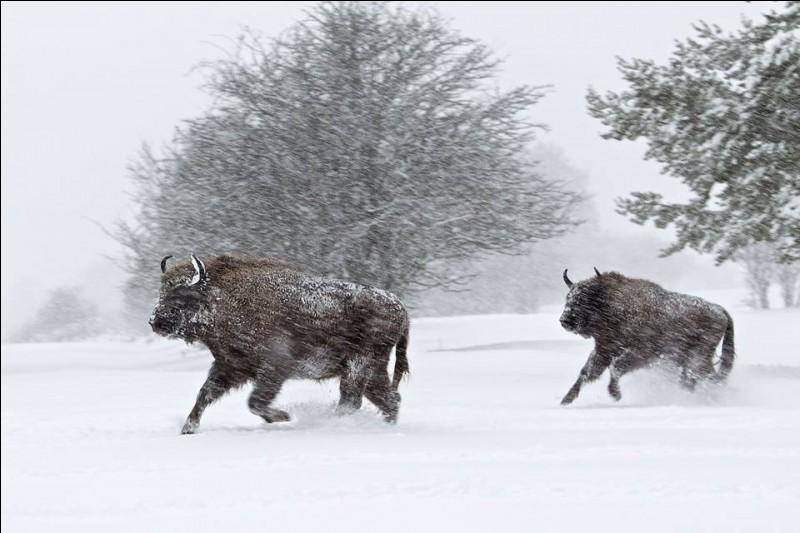 C'est le plus lourd et le plus grand mammifère d'Europe. Comme son cousin d'Amérique, il avait pratiquement disparu. Sauvegardé dans une réserve de Pologne, il fut réintroduit en France en 1991 : cette espèce vivant autrefois en Margeride, en Lozère, il est logique de l'y réimplanter. Maintenant dans ces forêts, vivent une trentaine d'individus.L'hiver en traîneau, quel animal peut-on y voir ?
