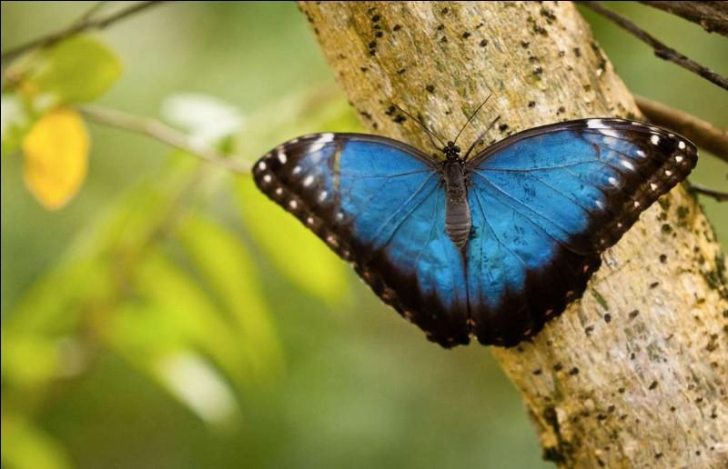 Ce beau papillon bleu a une envergure variant entre 7.5 et 20 cm. Son bleu saisissant est bordé de brun et tacheté d'un grand nombre d'ocelles. Il est endémique d'Amérique du Sud et d'Amérique centrale.Quel est le nom de cette espèce qui ne vit que 120 jours et dont la survie est gravement menacée par la déforestation ?