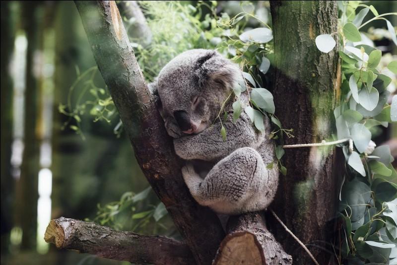 Y a-t-il image plus paisible ? Ce petit être est discret et craintif. Il vit dans les eucalyptus, de siestes en siestes.Quel est ce marsupial que vous pouvez observer en liberté sur la Great Ocean Roaddans, dans l'état de Victoria ?