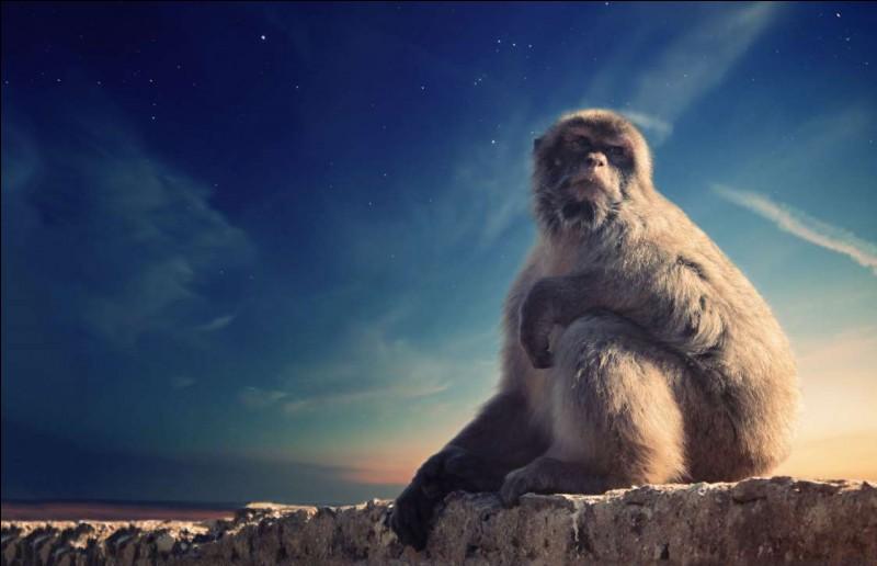 Des singes à l'état sauvage en Europe : il n'y a qu'un seul endroit pour en admirer, voire en côtoyer de près : Gibraltar. Ce singe est un plantigrade. Il se nourrit surtout de fruits et de feuilles, mais il trouve à l'occasion quelques bulbes et champignons qui font bien son affaire.Quel nom donne-t-on à ces primates qui cabriolent autour des touristes qui s'amusent à les prendre en photos ?