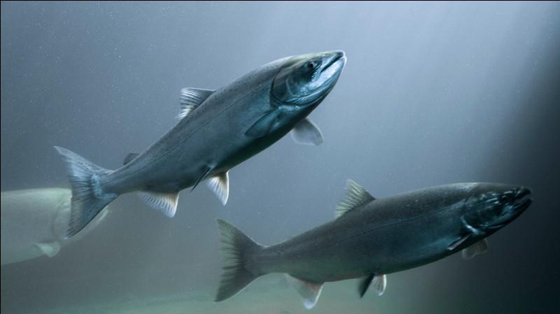 Le saumon se reproduit dans la mer.