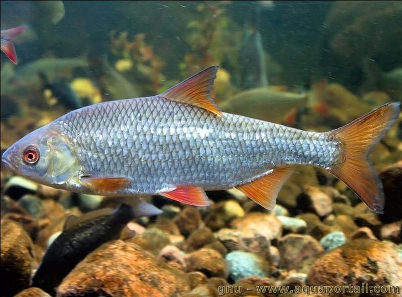 Le gardon est un gros poisson.