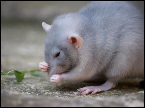 Un rat domestique en bonne santé est sale.