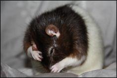 Combien de fois se lave un rat domestique en bonne santé par jour ?