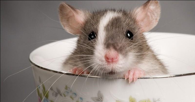Le rat domestique mord-il ?