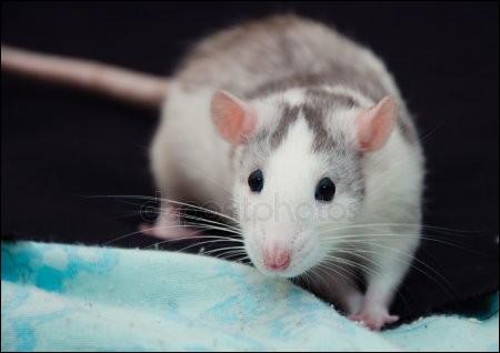 Un rat domestique est intelligent.