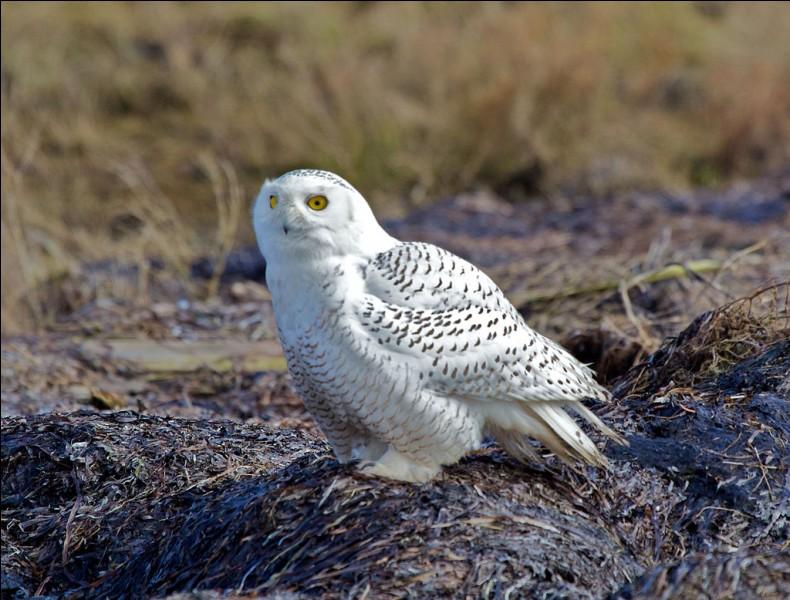 Le plumage du harfang des neiges est plus blanc l'hiver pour se camoufler dans la neige. De quelle province du Canada est-il l'emblème ?