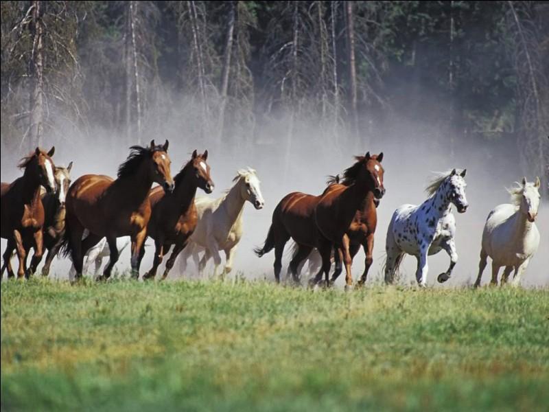 Observez ces chevaux. Sont-ils sauvages ?