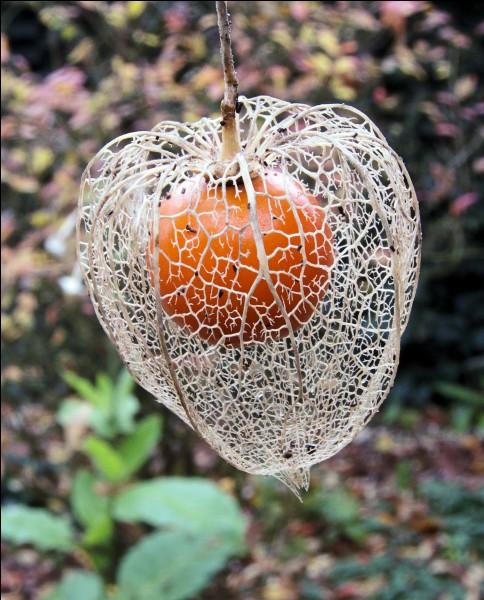 """Quelle plante vivace est aussi appelée """"amour en cage"""" ?"""