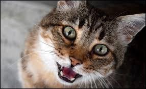 """Comment dit-on """"chat"""" en italien ?"""