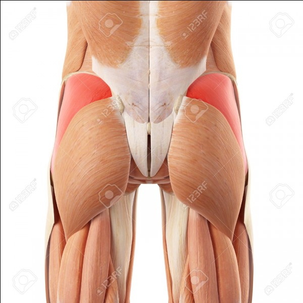 Quels sont ces muscles ? (en rose foncé)