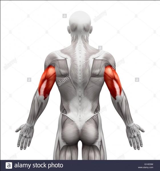 Quel est ce muscle ?