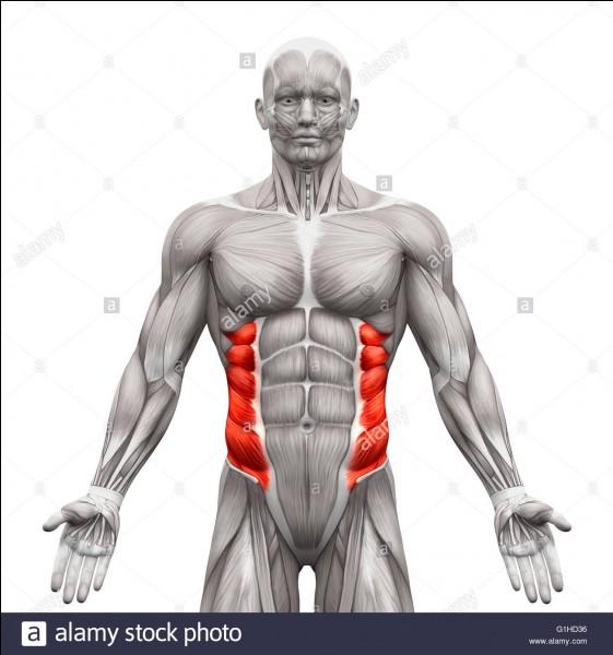 Quels sont ces muscles ?
