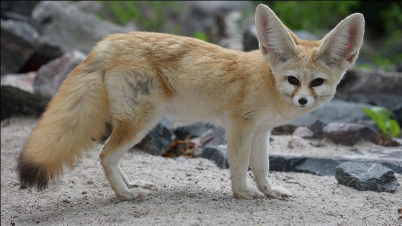 Aussi appelé renard des sables, il vit dans le désert du Sahara. C'est la plus petite espèce de canidés du monde. Comment écris-tu son nom ?
