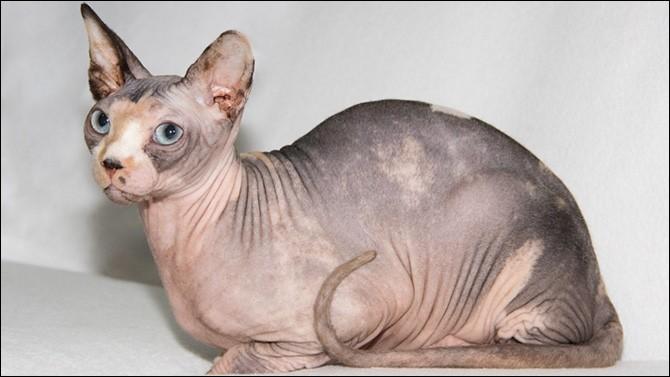 """La peau de ce chat sans poils, aussi appelé ''chat nu"""", est recouverte d'un léger duvet. C'est un [s...ynx]."""