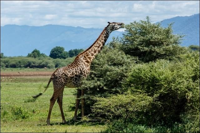 Elle vit dans les savanes africaines. Tu connais cet animal mais sais-tu écrire son nom ? Avec un 'f'' ou avec ''ph'' ?