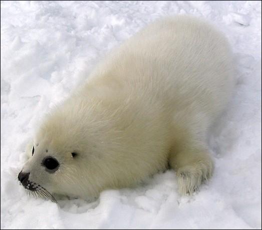 Ce mammifère marin a une épaisse couche de graisse qui lui permet de vivre dans l'eau froide. Admire, sur la photo, le bébé [...oque] du Groenland. Remplace les pointillés par :