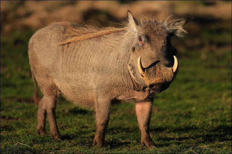 Voici un mammifère d'Afrique, de la même famille que le sanglier. C'est un [...cochère].