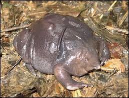 D'où provient cette étrange grenouille ?