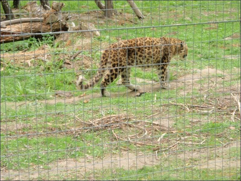 Sur quel continent peut-on espérer voir ce chat sauvage, appelé ocelot ?