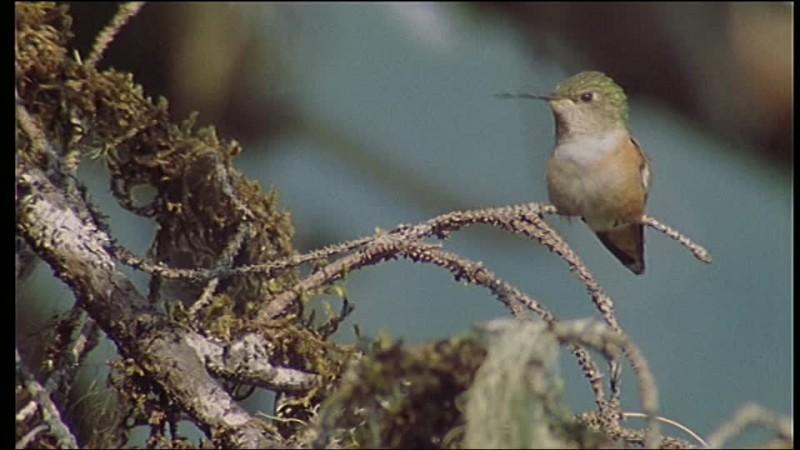 En dehors de l'Amérique latine, au climat tropical et équatorial, où peut-on voir des colibris ?