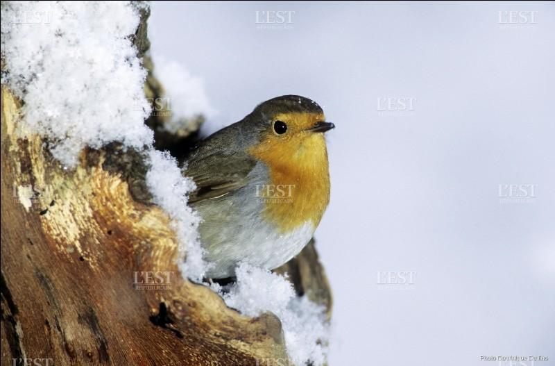 Il est présent toute l'année chez nous. L'hiver, la faim le pousse à s'approcher encore davantage des habitations !