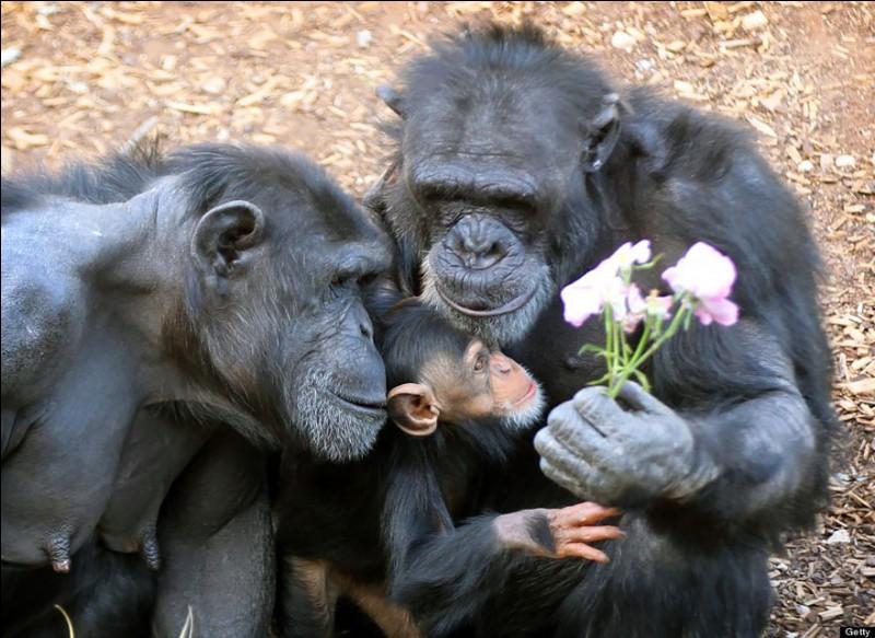 Chez ces singes, les mères restent avec leurs enfants jusqu'à l'âge de 7 ans. Quand un de ses bébés primates meurt, on peut vraiment voir le désarroi de la mère et sa grande peine à s'en séparer.Quels sont ces membres de la famille des Hominidés qui, selon l'Institut Jane Goodall, possèdent des relations entre eux qui peuvent durer toute une vie ?