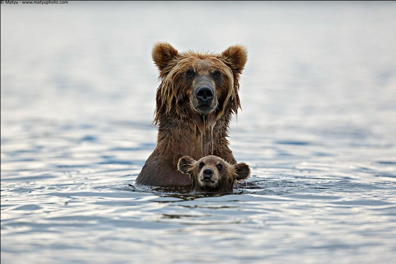 La mère élève seule son petit. Elle le protège jour et nuit contre les prédateurs mais également des mâles qui pourraient les tuer pour la conquérir.Nommez ces carnivores, dont les femelles, tous les 2 ans, mettent au monde de 1 à 4 jeunes qui pèsent seulement 500 grammes à la naissance ?