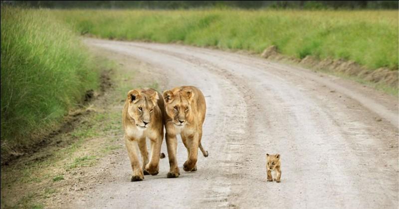 Ces félins se comportent avec fierté et vivent dans des groupes familiaux serrés : ils chassent et défendent leur territoire ensemble. Ils sont considérés comme les plus sociaux de tous les chats sauvages. Les chats passent environ 18 heures par jour à se reposer : ils demeurent environ 2 ans auprès de leur mère.Quels sont ces animaux dont, entre 1993 et 2017, la population a baissé de 43 % ?