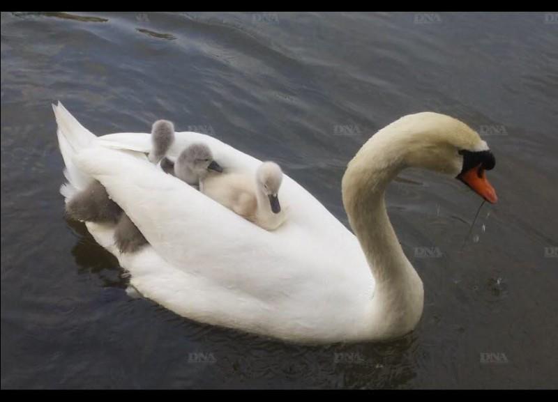 Depuis la mort de leur maman, c'est le mâle, dont la bosse au-dessus du bec est plus grande, qui s'occupe désormais seul, aussi bien qu'il le peut, des 3 petits.Nommez l'oiseau que l'on voit ici à l'oeuvre ?