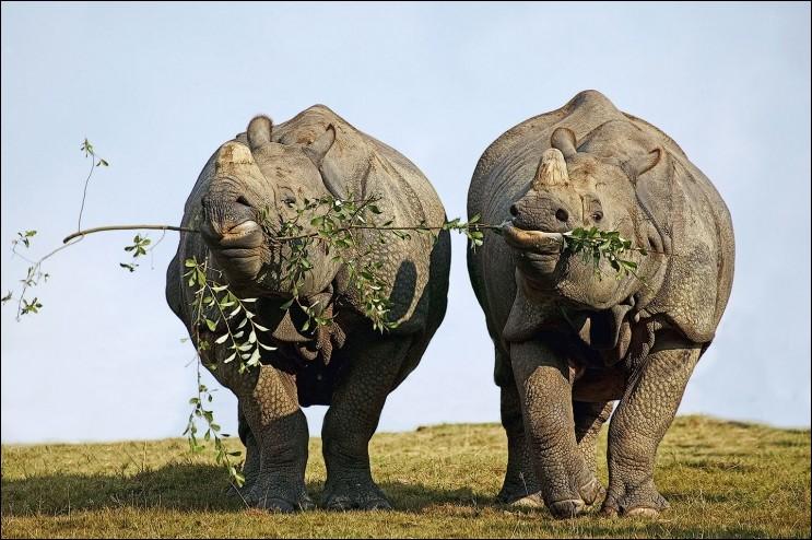 Le mâle est plutôt solitaire mais la femelle est plus sociable, sans se laisser facilement approcher. Une fois qu'il se sera formé, malgré les difficultés, le couple va résister quelques jours, voire quelques semaines. On peut alors voir les 2 mammifères placentaires se déplacer et se nourrir ensemble, comme ici quand ils partagent la même branche. Nommez cette espèce en voie de disparition ?