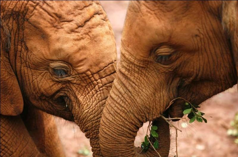 Ils sont reconnus pour leur intelligence, leur mémoire prodigieuse et leurs liens familiaux profonds, ceci au sein d'un clan matriarcal structuré. Ils sont affectés lors du décès d'un proche et affichent souvent ce qui ressemblent à des émotions proches des nôtres.Nommez ces pachydermes qu'on a photographié ici à Nairobi au Kenya et qui semblent avoir un moment de tendresse ?
