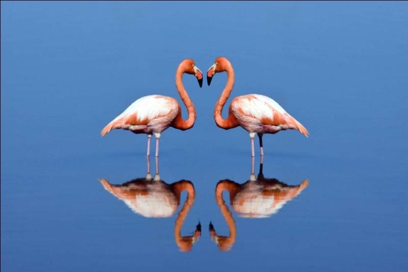 Ces magnifiques oiseaux ont été photographiés dans une lagune d'eau douce, aux Galapagos, en Équateur. Si par carence en bêta-carotène, certains mâles demeurent blancs, ils ne pourront pas réussir de ''parade nuptiale'' et vont disparaître sans descendance : les couples vont aussi manger ensemble, faire des battements d'ailes et des jeux du cou.Nommez ces oiseaux qu'on peut observer en Camargue ?