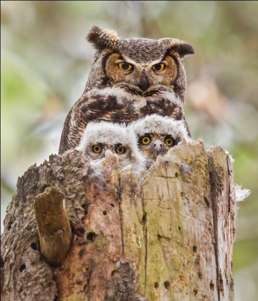 Les 2 bébés se fondent parfaitement dans le décor, bien protégés par maman. Ce sont des rapaces nocturnes et les petites plumes en formes de cornes leur sont spécifiques. Les petits comme la mère ont une tête volumineuse p/r à leur corps : on voit ici qu'ils possèdent de grands yeux qui fixent, sur un cou qui pivote à 270º.Nommez ces oiseaux dont les petits, sont couverts de duvet à la naissance