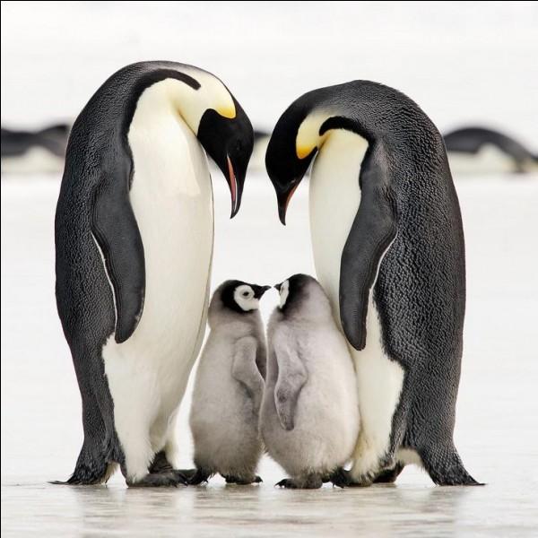 Ces oiseaux sont incapables de voler mais ils sont de superbes nageurs. Dos noir, ventre blanc, ils ont la tête entourée d'une bande blanche et jaune. Lors de la reproduction, qui dure 3 mois, les couples demeurent ensemble.Nommez ces oiseaux marins qui peuvent vivre jusqu'à trente ans en liberté ?