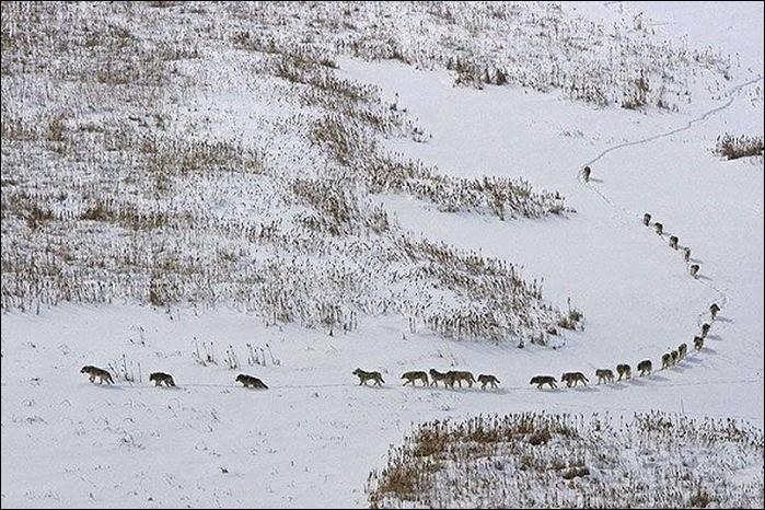 Cette photo représente une meute dans le parc national Wood Buffalo. Celui qui ouvre la piste est naturellement un animal puissant parce qu'il tape le chemin dans la neige, sans perdre le rythme. Le dernier protège les arrières. Le peloton se déplace au rythme des aînés et s'entraide, se surveille.Nommez cet animal :