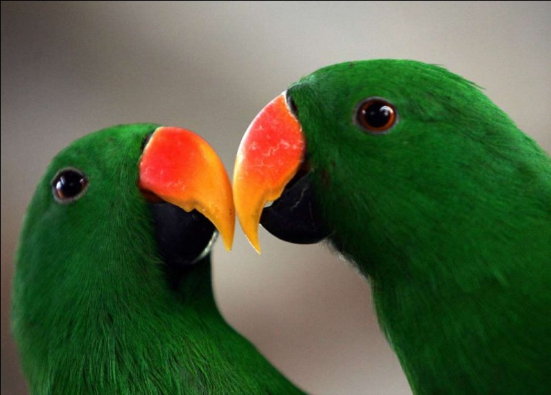 """Ils ont été photographiés à Jakarta en Indonésie. Ils sont parmi les rares espèces du monde animal à choisir leur partenaire """"amoureux"""" et à lui demeurer fidèle toute la vie durant. Ici, ils se frottent le bec et semblent dire : ''Regarde-moi dans les yeux''.Quel est cet oiseau dont la forte demande pour le domestiquer a fini par avoir un impact négatif sur les populations indigènes ?"""