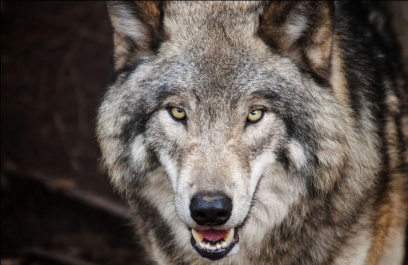 Que se passe-t-il, si un loup aime la même femelle que l'alfa (chef de meute) ?