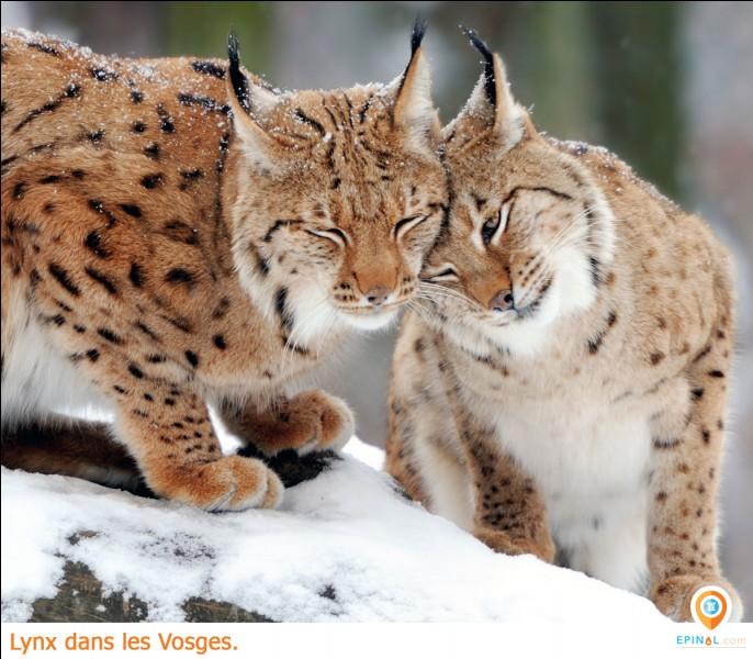Quel est le meilleur atout du lynx ?