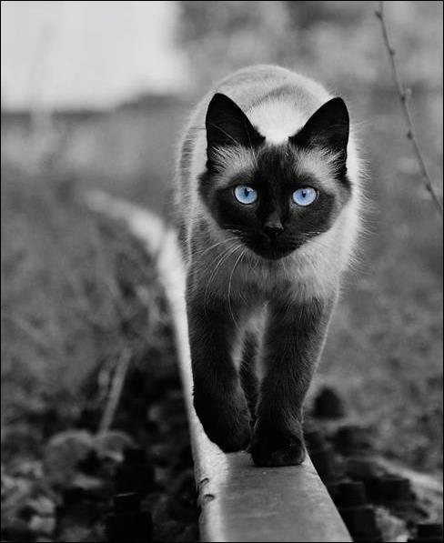 De quel pays le chat siamois est-il originaire ?