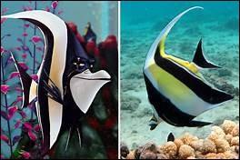 """Dans le dessin animé """"Nemo"""", comment s'appelle le poisson noir et blanc ?"""