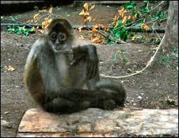 Ce singe d'Amérique du sud porte le nom ...