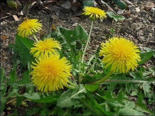 Délicieux en salade, avant que les fleurs ne poussent !