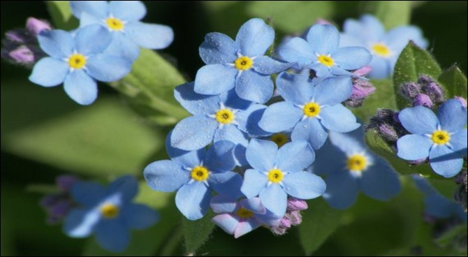 """Quelle est cette plante à petites fleurs bleues, également appelée """"oreille-de-souris"""" ou """"ne m'oubliez pas"""" ?"""